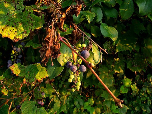 Frost grapes and leaves (Southeast Michigan)