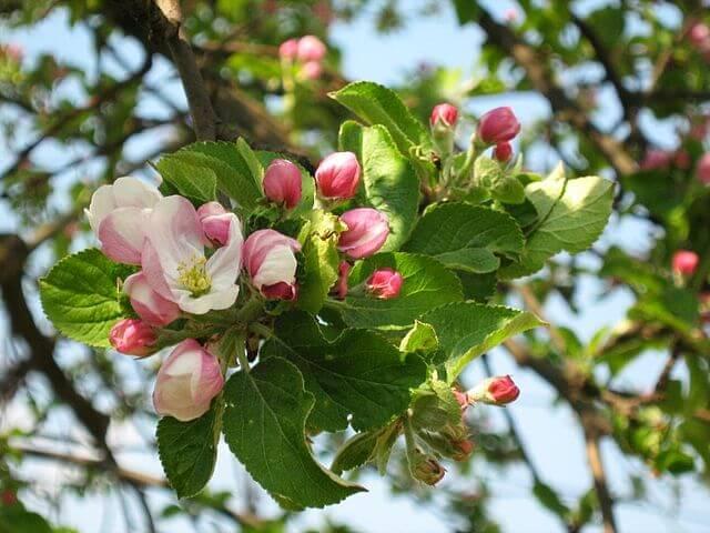 Pretty pink blossom on the Malus sieversii crabapple tree