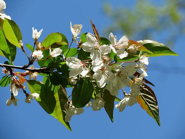The Southern Crabapple blossom.