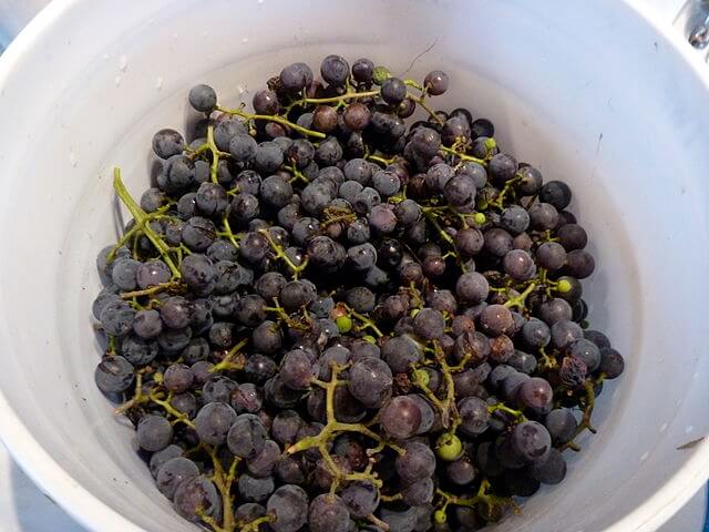 bucket of Concord grapes