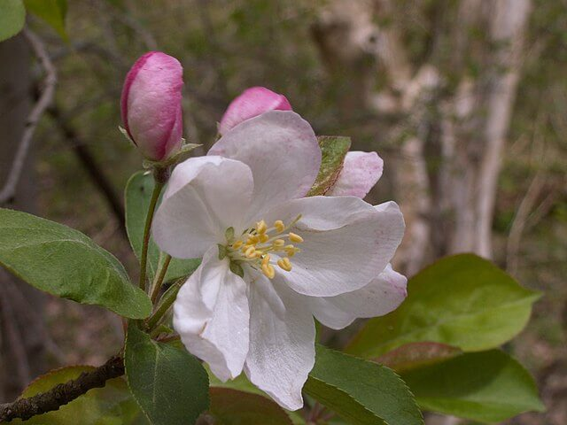 Close up on the light pink sweet crabapple flower, with bright pink closed buds of other flowers behind