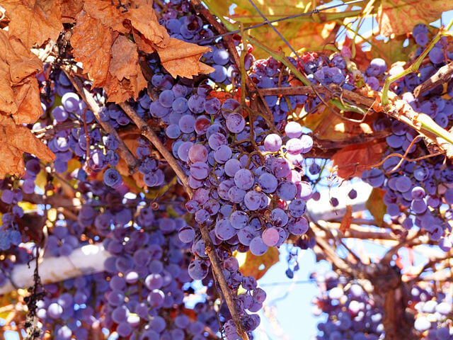 Beautiful purple Concord grapes in a vineyard