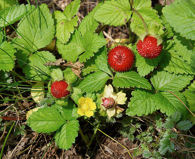 Image of false strawberries at ripened, unripe and flower stage.