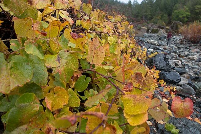 Orange and yellow leaves of the California grape next to a rocky stream bed.