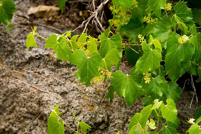 Leaves and emerging clusters of grapes