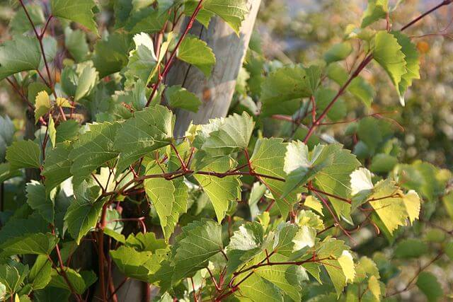 Close up of the red stemmed leaves of the July grape