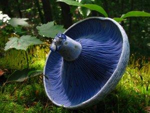 Indigo Milk Cap (Lactarius indigo)