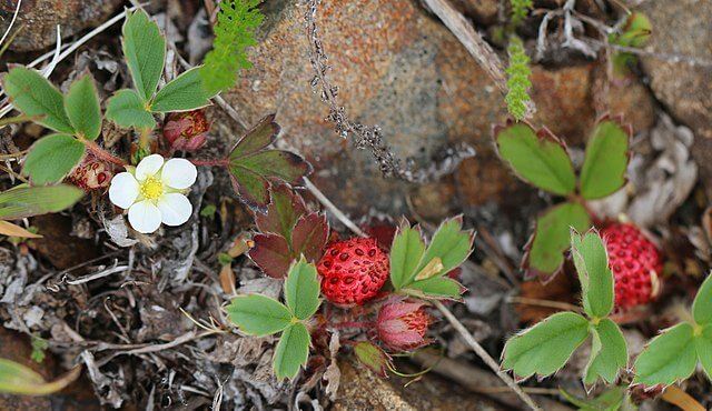 Fruits forming on the beach strawberry