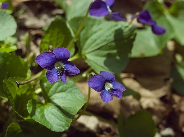 Purple violet flowers and green leaves